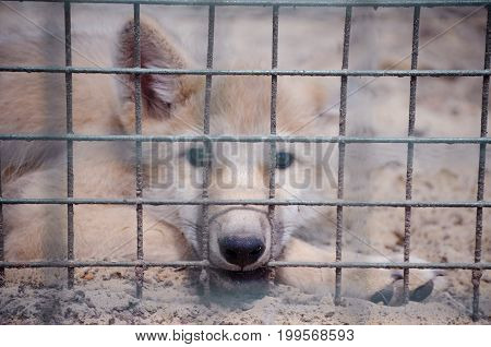 Sad little Arctic wolf cub behind bars in the zoo (shallow DOF selective focus on the wolf cub nose)