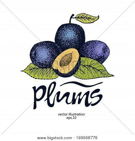Plum retro vector illustration. Botanical fruit logo template. Engraved berry plum.