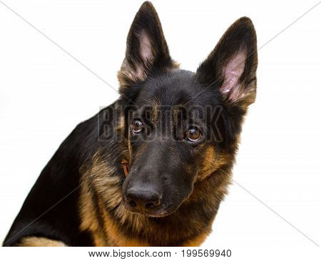 Guilty or scared German shepherd looking up (selective focus on the dog eyes) isolated on white