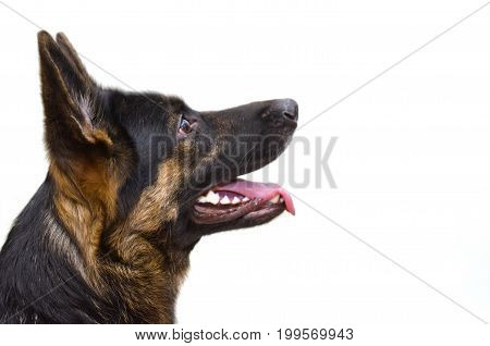 Cute German shepherd looking up (isolated on white) with copy space on the right
