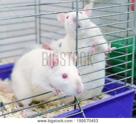 A couple of curious white laboratory rats looking out of a cage (selective focus on the rat on the right)