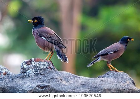 Close up two birds common myna or Acridotheres tristis on rock
