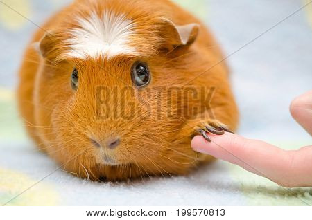 Cute shy guinea pig with its paw on a human finger as if shaking hands (selective focus on the guinea pig paw and finger)