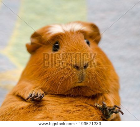 Portrait of a cute funny guinea pig against a bright background (selective focus on the guinea pig nose)