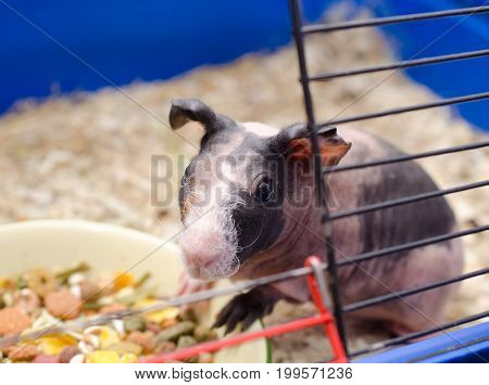 Cute skinny guinea pig baby near a bowl with food in a cage (selective focus on the guinea pig eyes)