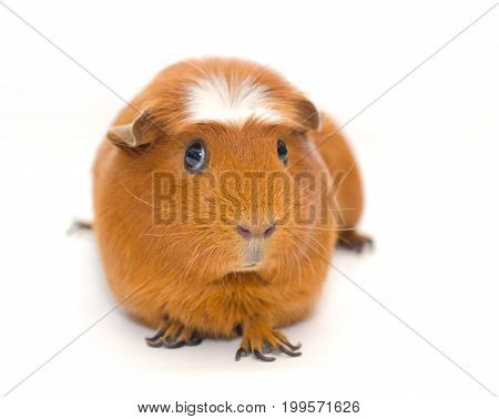 Cute guinea pig with a funny expression isolated on white (shallow DOF selective focus on the guinea pig nose)
