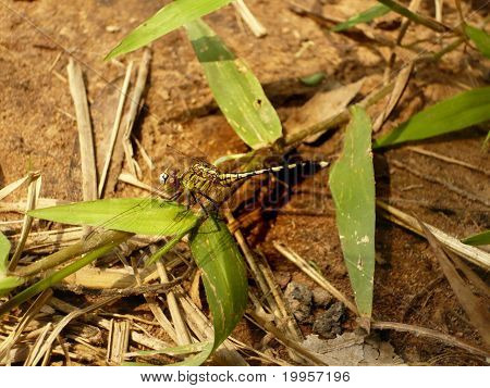 The close-up of dragonfly being stopped on grasses. poster