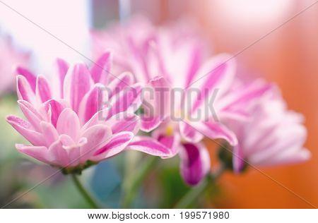 Macro shot of beautiful chrysanthemum flowers shallow DOF (retro style)