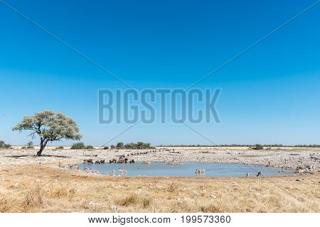 Burchells zebras blue wildebeest and springbok drinking water at a waterhole in Northern Namibia