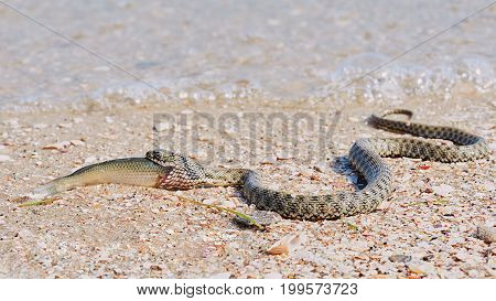 Snake River Natrix reptile head swallowed goby fish