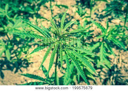 Close-up of marijuana or hemp plants on industrial cannabis plantation - retro style