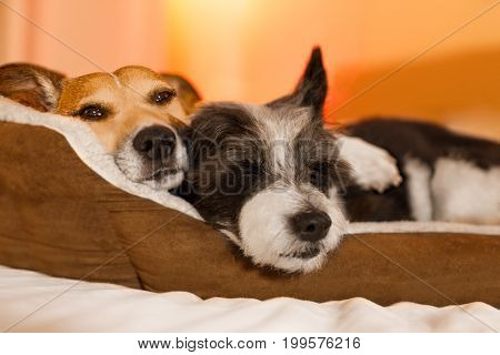 couple of dogs in love close and cozy together sleeping and relaxing on bed cuddling in embrace( low light photo)