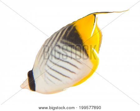 Tropical coral fish isolated