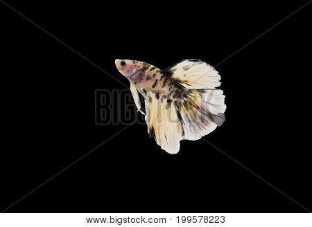 Siamese fighting fish (Double-Tail Halfmoon) Beautiful Tiger pattern tail isolated on black background.