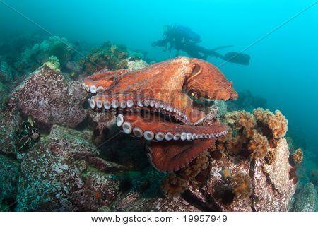 Giant Octopus Dofleini And Diver