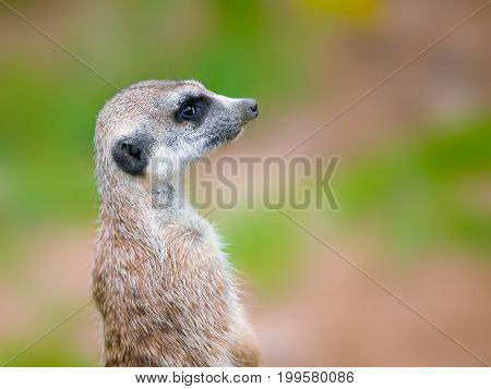 meerkat or suricate portrait against blurry background