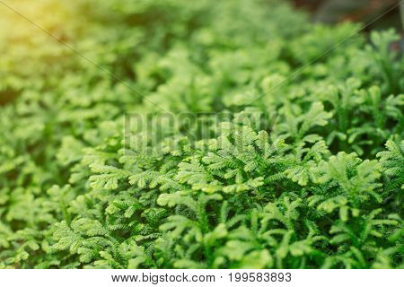Ferns with green nature in rainy season.