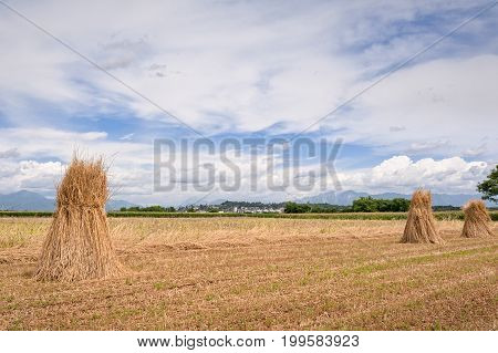 Agricultural landscape. Handmade grain harvest. Sheaves of wheat.