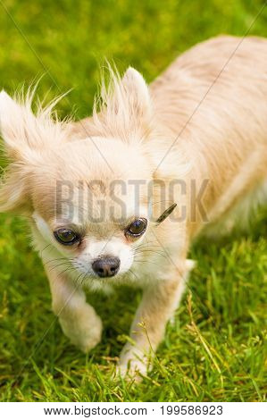 Chihuahua, green background. Space under the text. 2018 year of the dog in the eastern calendar Concept: parodist dogs, dog friend of man, true friends, rescuers.