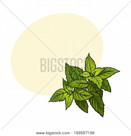 mint herbs ingredients, sketch style vector illustration on white background. Realistic hand drawing of mint leaves with space for text.
