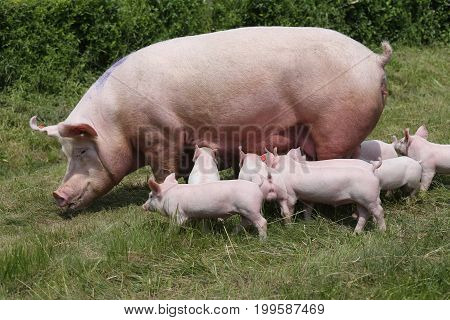 Piglets suckling on the farm. Little piglets household. Lovely pets
