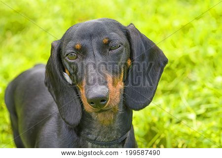 Typical Dachshund Slyly narrowed her eyes, green background. Space under the text. 2018 year of the dog in the eastern calendar Concept: parodist dogs, dog friend of man, true friends, rescuers.