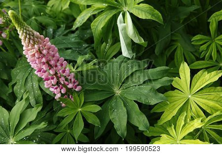 Pink Lupine Flowers In The Garden Close Up