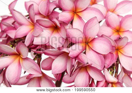 Pink Frangipani plumeria tropical flowers isolated