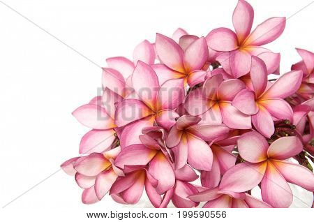Frangipani plumeria tropical flowers