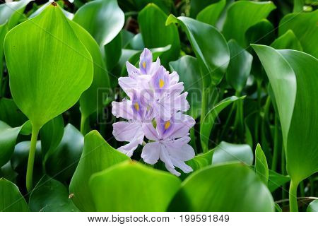 Blossom of common water hyacinth (Eichhornia crassipes)