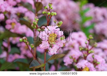 Beautiful flowering of an evergreen exotic shrub of Lagerstroemia indica