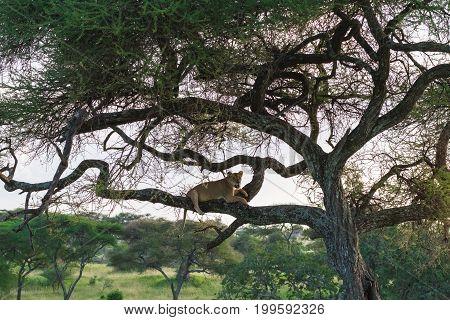 Big cat on the tree. Tarangire, Tanzania