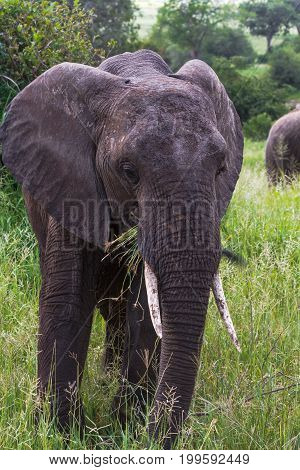 Portrait of very huge elephant. Tarangire, Tanzania