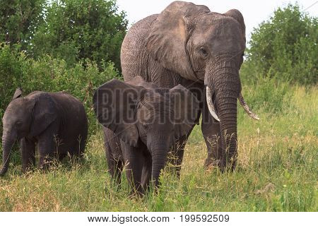 Elephant and a baby elephant. Tarangire, Tanzania