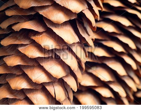 fir cones closeup.the surface texture of fir cones.
