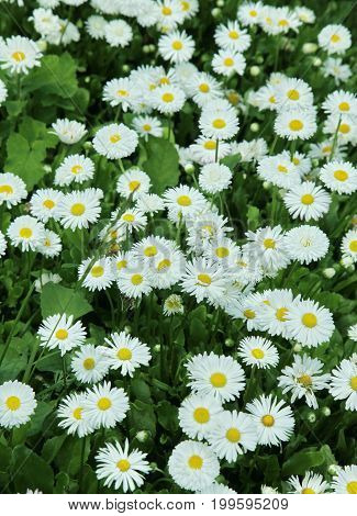 Beautiful Background Of Daisy Flowers In The Garden