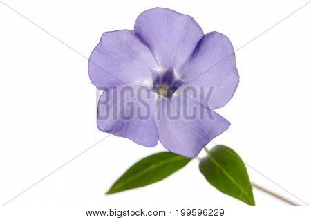 Beautiful Periwinkle flower isolated on white background