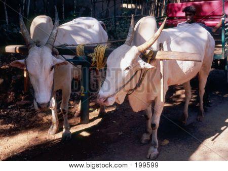 Couple Of Bulls