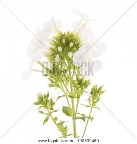 White Phlox flowers isolated in studio