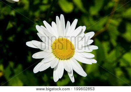 Chamomile flower, often used in folk medicine.