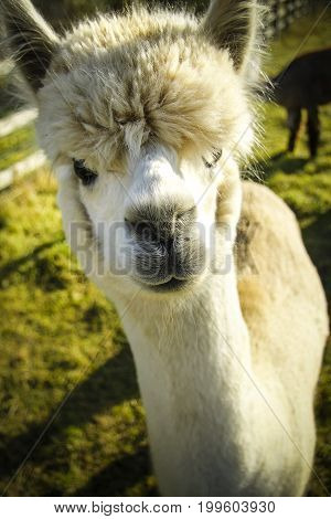 Alpaca in close up on sunny day on farmland