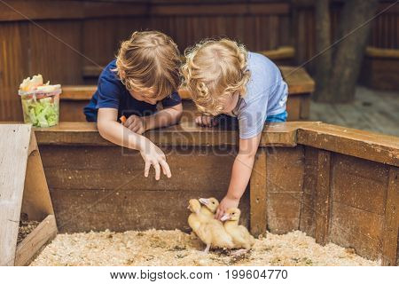 Toddlers Girl And Boy Playing With The Ducklings In The Petting Zoo