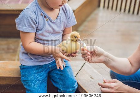 Toddler Girl Playing With The Ducklings In The Petting Zoo