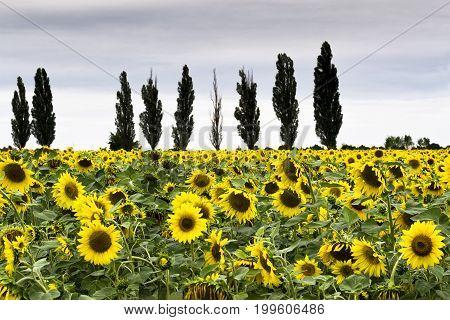 Beautiful field of sunflowers. Summer. Recreation Travels