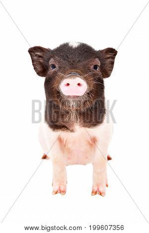 Portrait of the charming little pig standing isolated on a white background