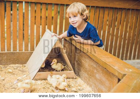 Toddler Boy Caresses And Playing With Ducklings In The Petting Zoo. Concept Of Sustainability, Love