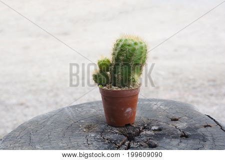 A small cactus in a pot placed on tree stump