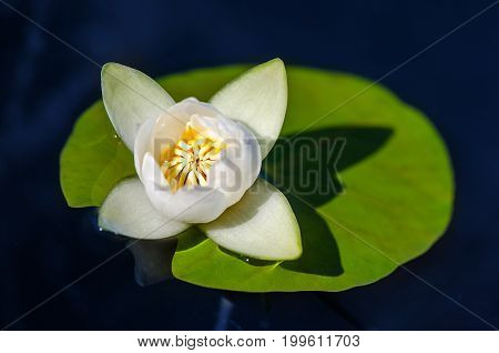 Beautiful blooming flower - white water lily on a pond. Nymphaea alba Natural colored blurred background.
