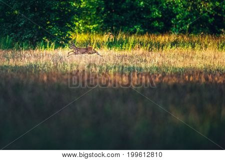 Roe Deer Running In Field Jumping Over Tall Grass.