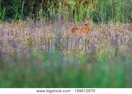 Roe Deer Buck In Field With Wild Flowers Looking To The Left.